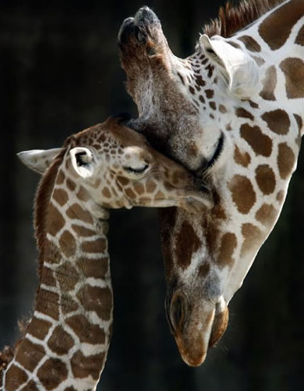 animals, giraffe, love