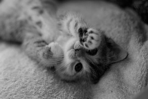 anw, beautiful, cute, i want, kitten