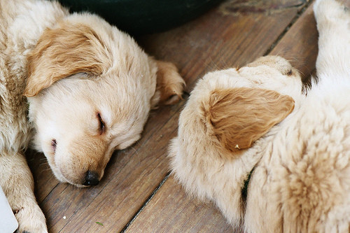 asleep, beige, cute, dog, doggy