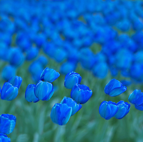azul, beautiful, blue, cool, fields, fiori, flores, flower, flowers, grass, green, life, lovely, lucy, naturaleza, nature, nice, photography, pretty, tulips, turquesa tulipanes, turquoise, verde