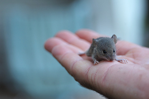 baby mouse, cute, mouse, palm