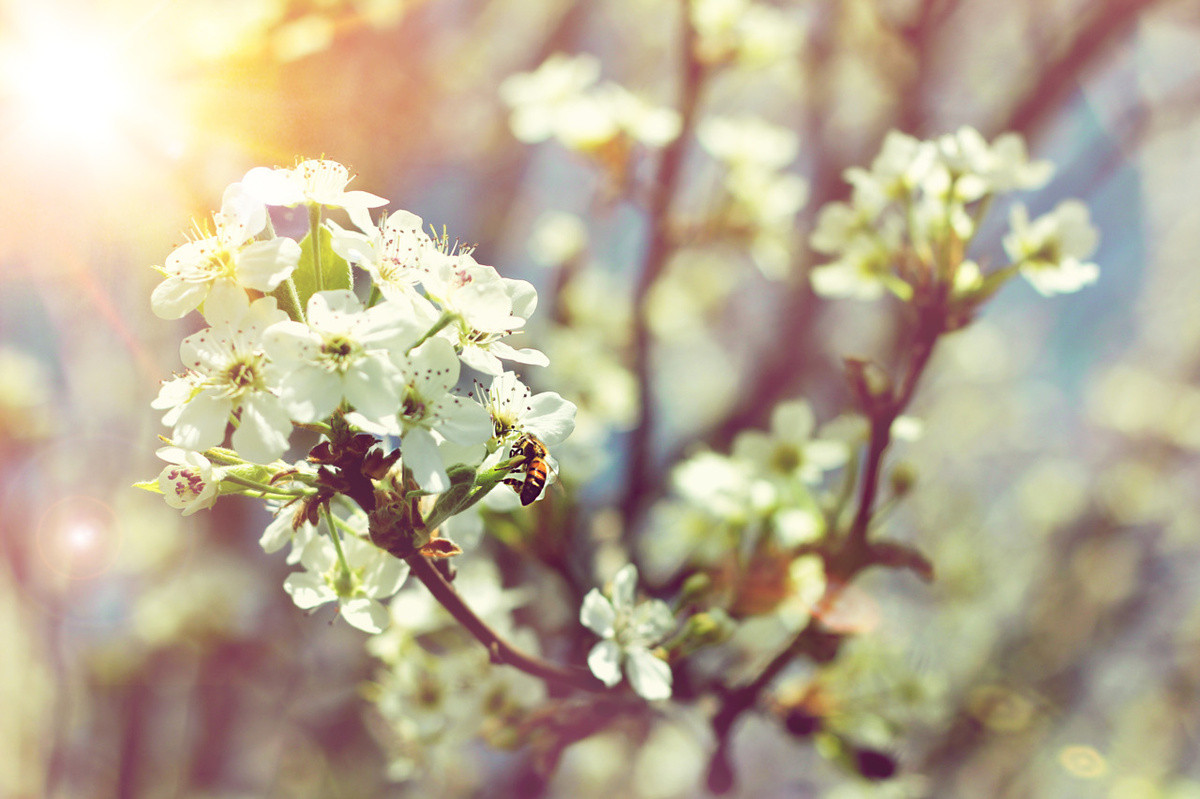 beautiful, bee, bokeh, cerry blossom, cute