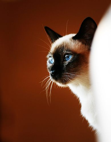 beautiful, beige, blue, blue eyes, cat