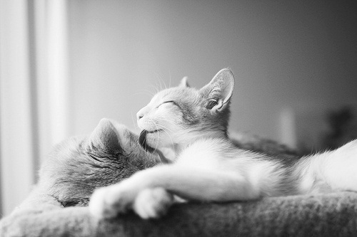 beautiful, black and white, cat, cats, cute