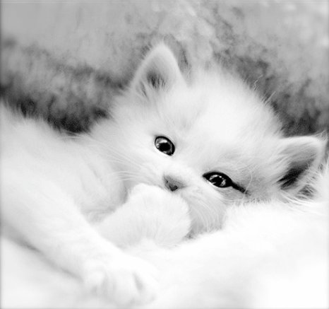 beautiful, black and white, cat, cute