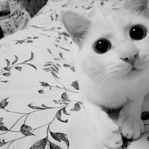 beautiful, black and white, cat, cute, white