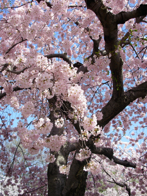 beautiful, blossom, blossoms, cherry blossom, cherry blossoms