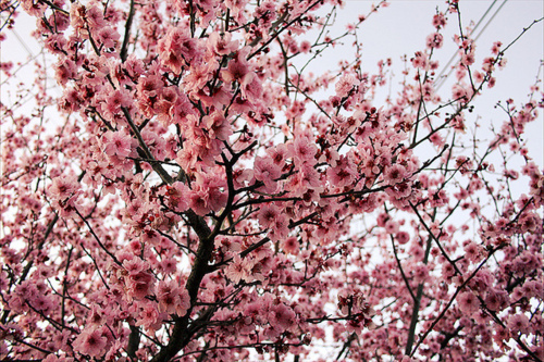 beautiful, blossom, blossoms, cherry blossom, cherry blossoms, color, colorful, colors, floral, flower, flowers, inspiration, inspire, inspiring, nature, photography, pink, pretty, spring