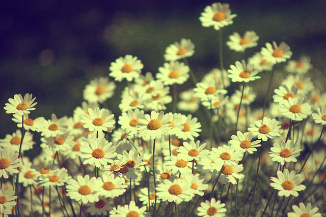 beautiful, chamomile, dream and flowers