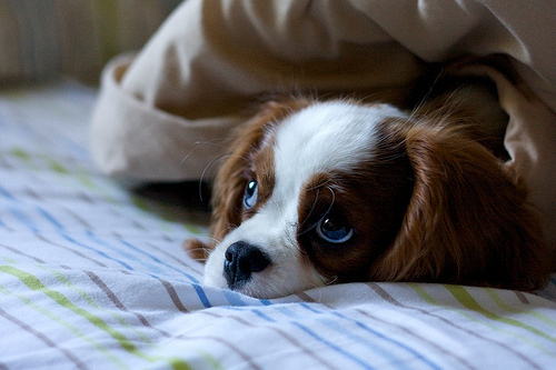 bed, cute, dog