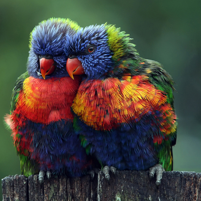 birds, cute, love, lovebirds, rainbow