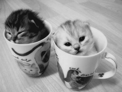 black and white, cat, copo, cup, cute