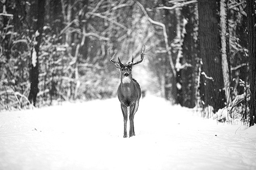 black and white, cute, deer, forest, hipster, photo, photography, pretty, snow