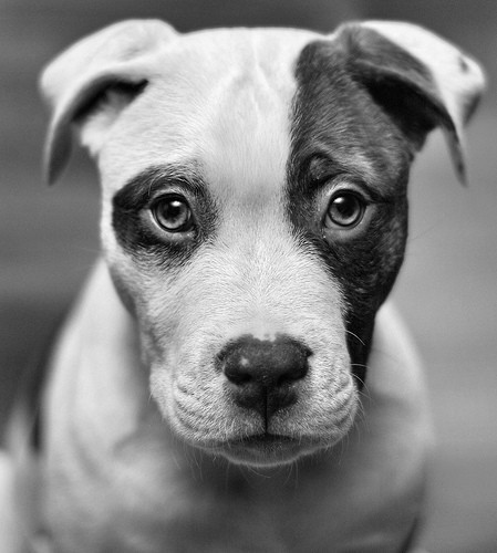 black and white, dog, eyes, face, photography