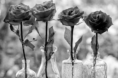 black and white, flower, flowers, rose, roses