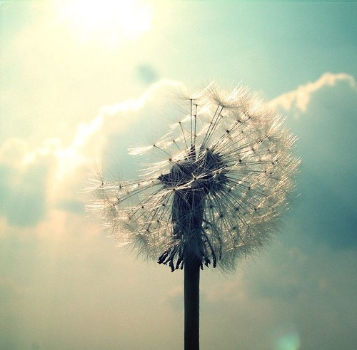 blossom, cute, dandelion, seeds, wish