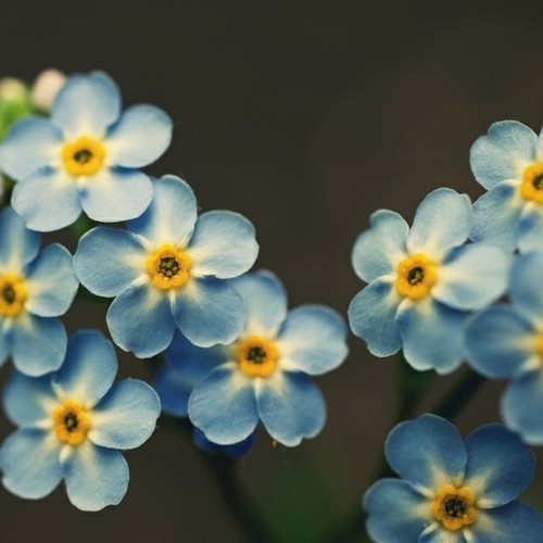 blue, cute, flower, flowers, light blue