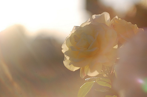 blur, bright, cute, flower, lighting, photography, rose, sweet, vintage, yellow