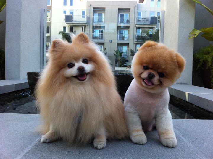 boo, cute, dog, pomeranian