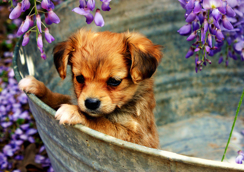 brown, cute, puppy, purple