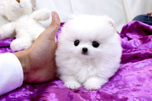 cute, puppy, purple