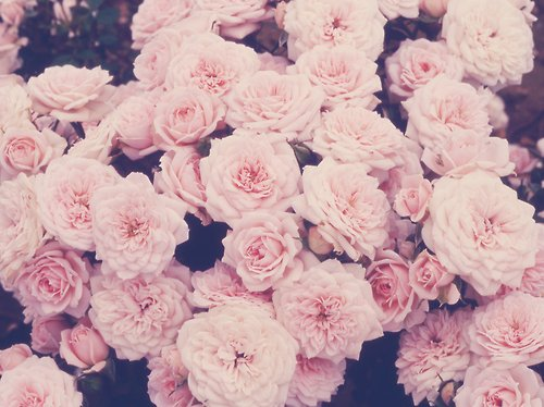 flowers, pale, pretty, roses